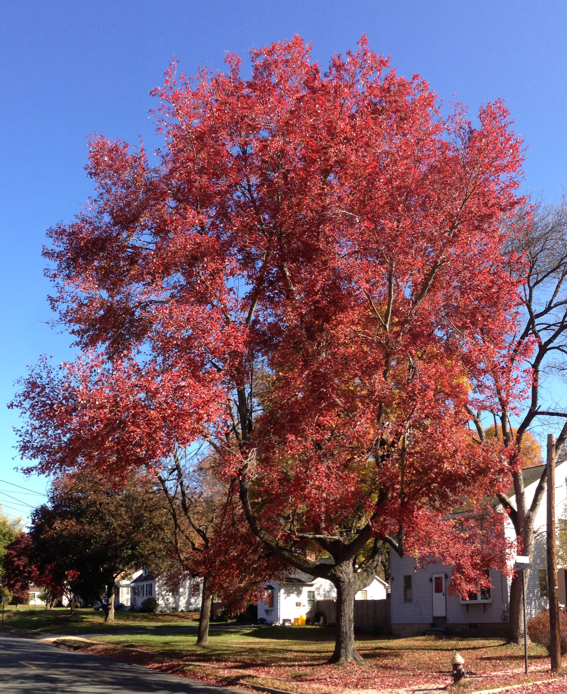 October Glory Red Maple Shade Tree Herbeins Garden Center Emmaus PA
