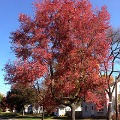 October Glory Maple Shade Tree Herbeins Garden Center Emmaus Pa