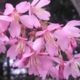 Okame Cherry Tree Pink Flowering Spring Herbeins Garden Center Emmaus Pa