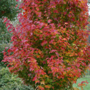 Red Rocket Maple acer rubrum Herbeins Garden Center Emmaus Pa