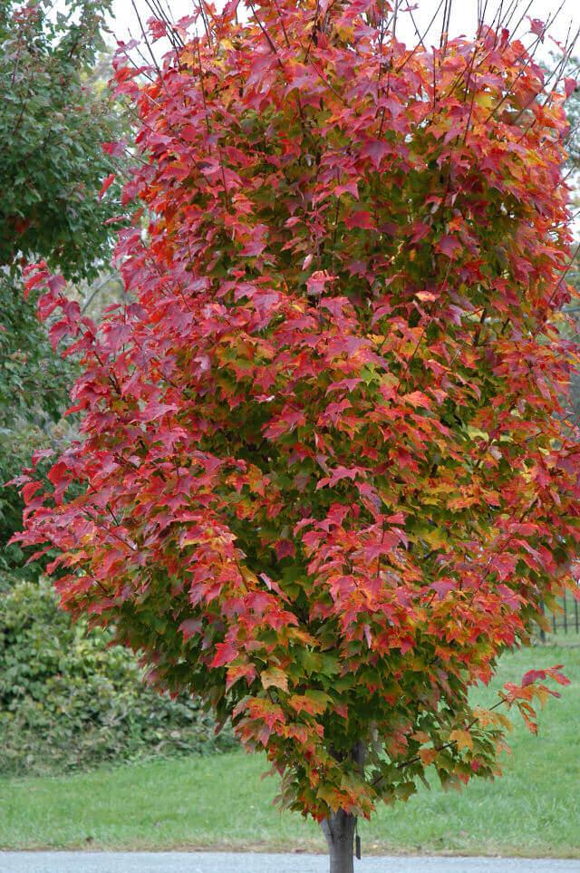 Red Rocket Maple Acer rubrum Herbeins Garden Center Emmaus Pa