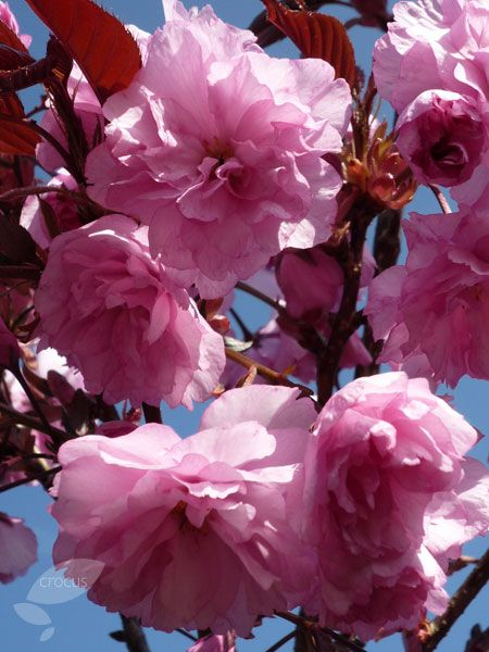 Royal Burgundy Cherry Spring Blooming Tree Pink Flowers Herbeins Garden Center Emmaus Pa