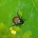japanese-beetle damage Herbeins Garden Center Emmaus PA