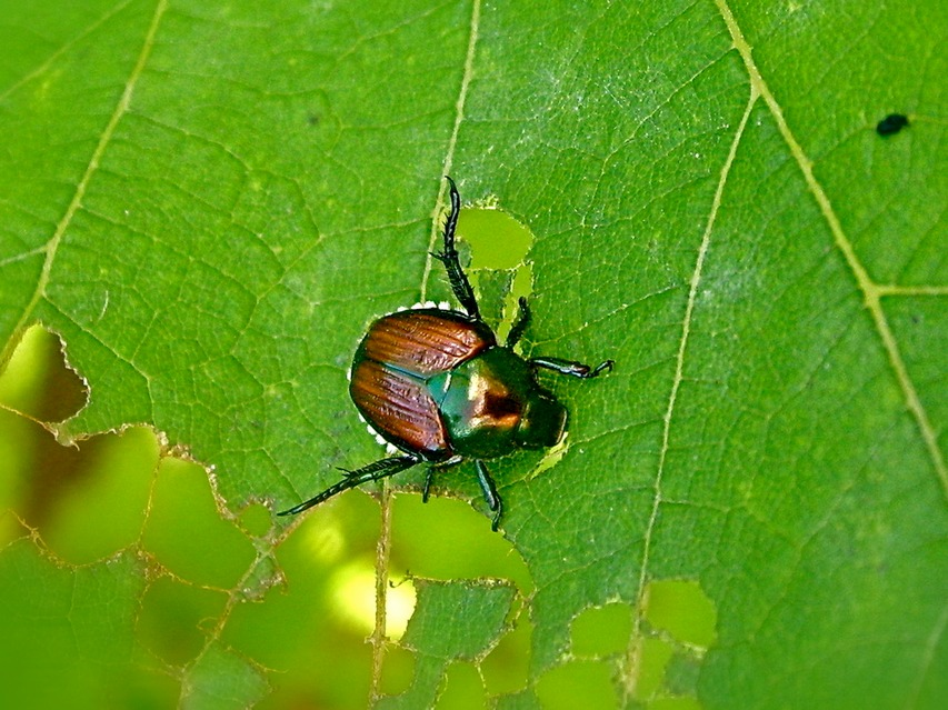 japanese-beetle damage Herbeins Garden Center Emmaus PA