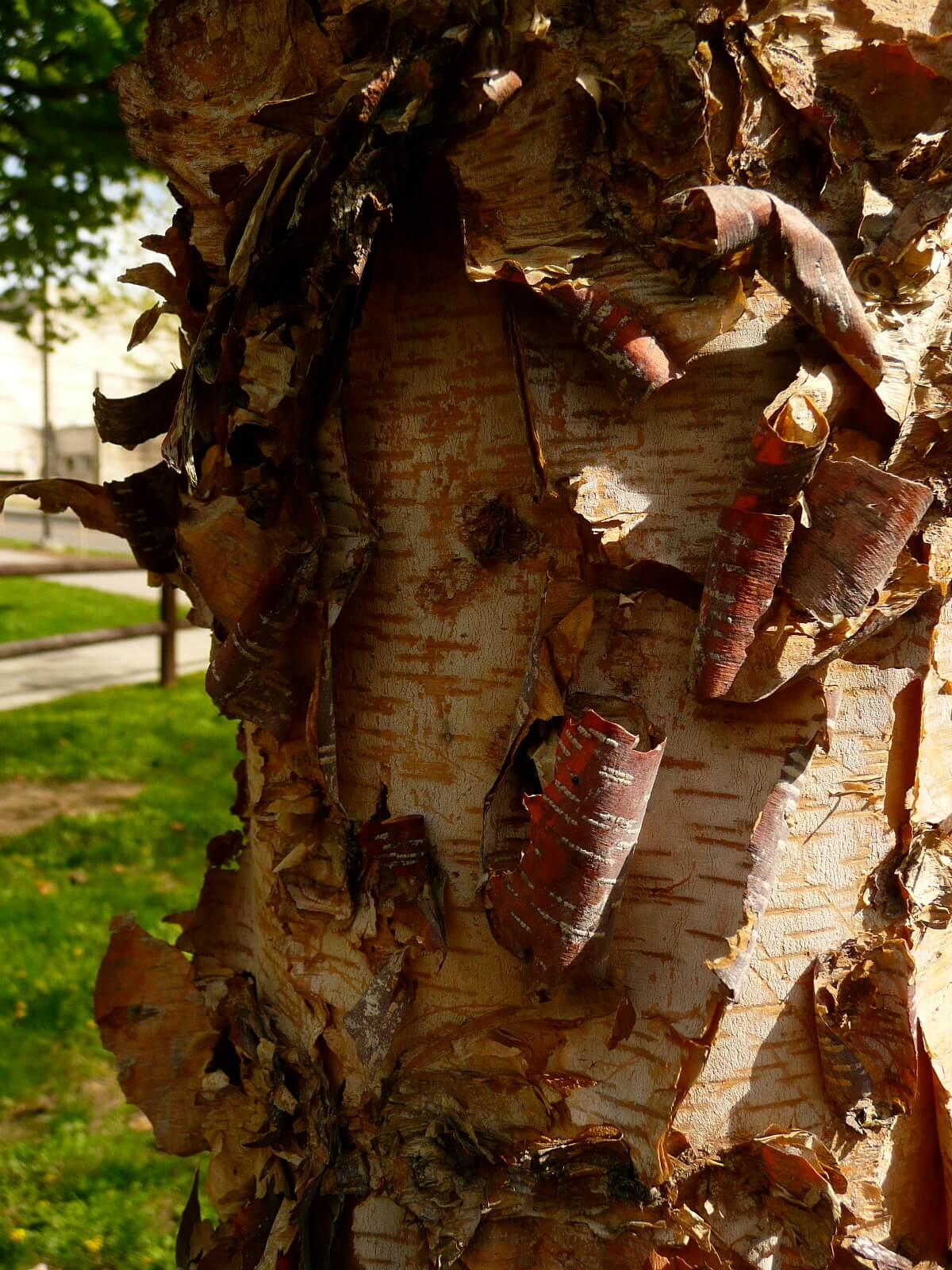 Heritage River Birch Tree Peeling Shade Interest Herbeins Garden Center Emmaus Pa