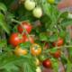 Homegrown Tomatoes Herbeins Garden Center Emmaus Pa