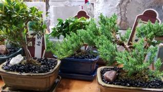 Indoor Bonsai Plants Tropical Herbeins Garden Canter Emmaus Pa