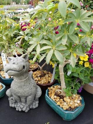 Tropical Bonsai Plants Herbeins Garden Center Emmaus Pa