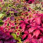 Coleus Nonflowering Plant Colorful Foliage Herbeins Garden Center Emmaus Pa