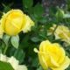 Yellow rose bush plant Herbeins Garden Center Emmaus Pa