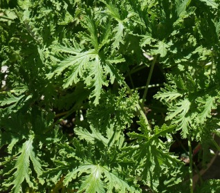 The Myth Of The Citronella Plant Herbeins Garden Center Pa