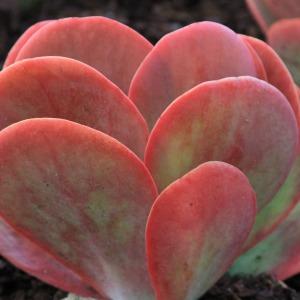 Succulent Paddle Plant-Desert Rose