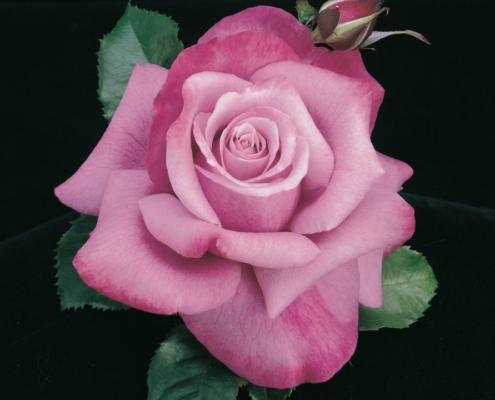 Rose Barbra Streisand