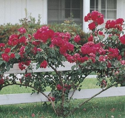 Rose Blaze Improved Herbein's Garden Center
