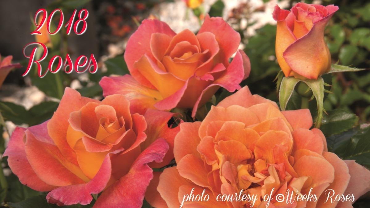 2018 Rose Inventory Herbeins Garden Center