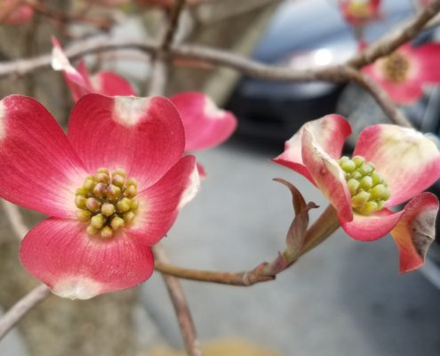 Dogwood 'Cherokee Chief' Herbeins Garden Center