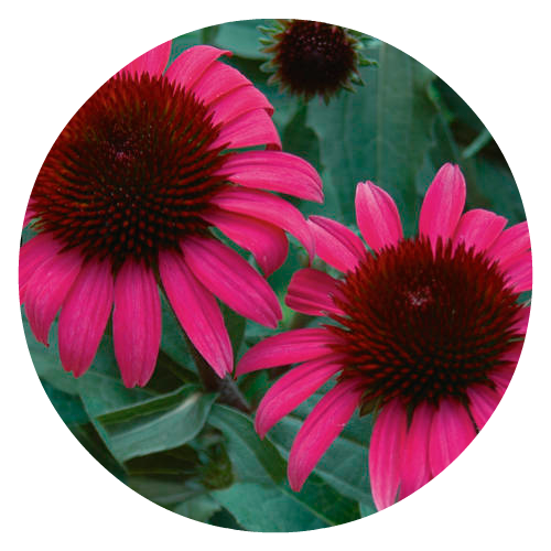 Echinacea Pollintor Friendly Herbeins Garden Center