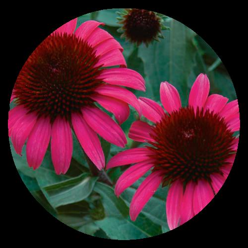 Echinacea Pollintor Friendly Herbeins Garden Center