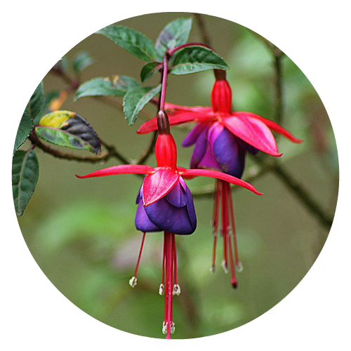 Fuchsia Pollinator friendly Herbeins Garden Center
