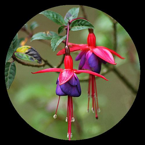 Fuchsia Pollinator friendly Herbeins Garden Center