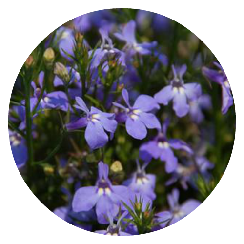 Lobelia pollinator friendly Herbeins Garden Center