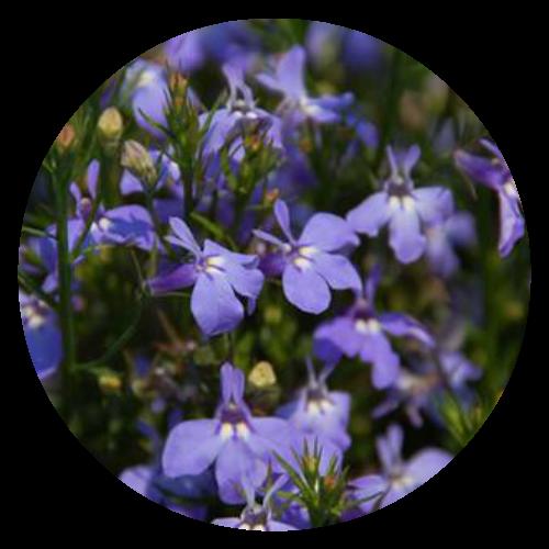 Lobelia pollinator friendly Herbeins Garden Center