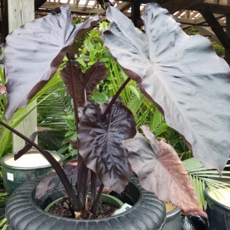 Colocasia Tropical Sale Herbeins Garden Center