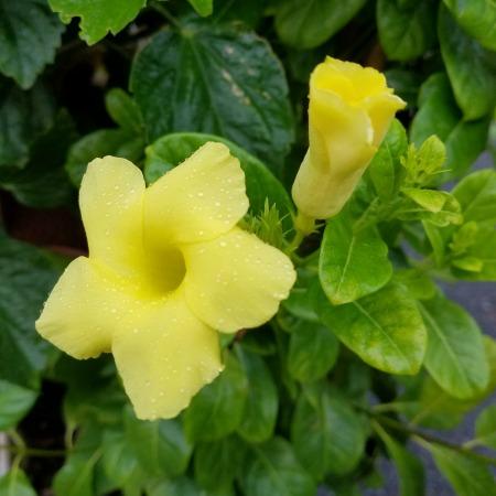 Yellow Mandevilla Tropical Sale Herbeins Garden Center