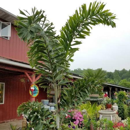 Foxtail Palm Tropical Sale Herbeins Garden Center