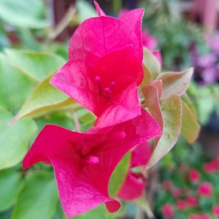 Pink Bougainvillea Tropical Sale Herbeins Garden Center