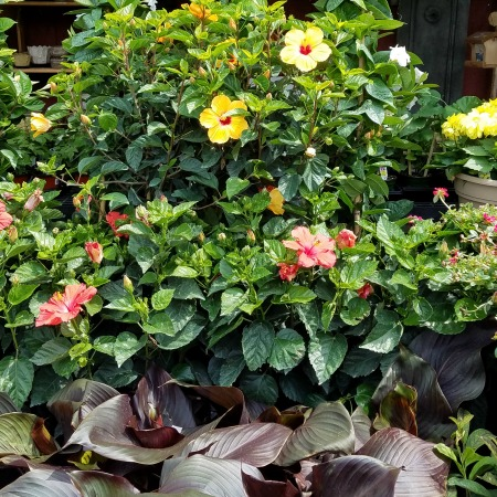 Hibiscus Tropical Sale Herbeins Garden Center