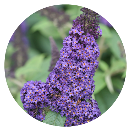 Buddleia Herbeins Garden Center Pollinator Friendly