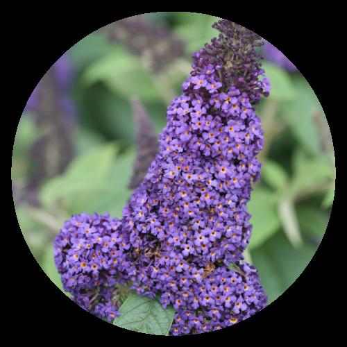 Buddleia Herbeins Garden Center Pollinator Friendly