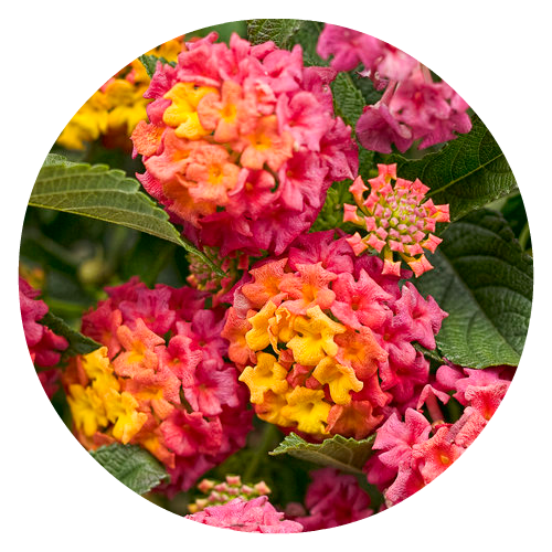 Lantana Pollinator friendly Herbeins Garden Center