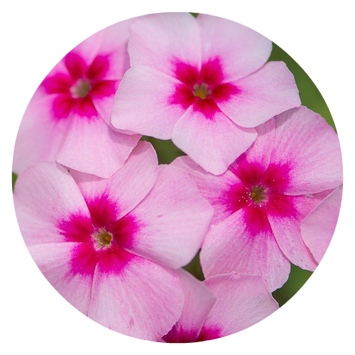 Phlox pollinator friendly Herbeins Garden Center