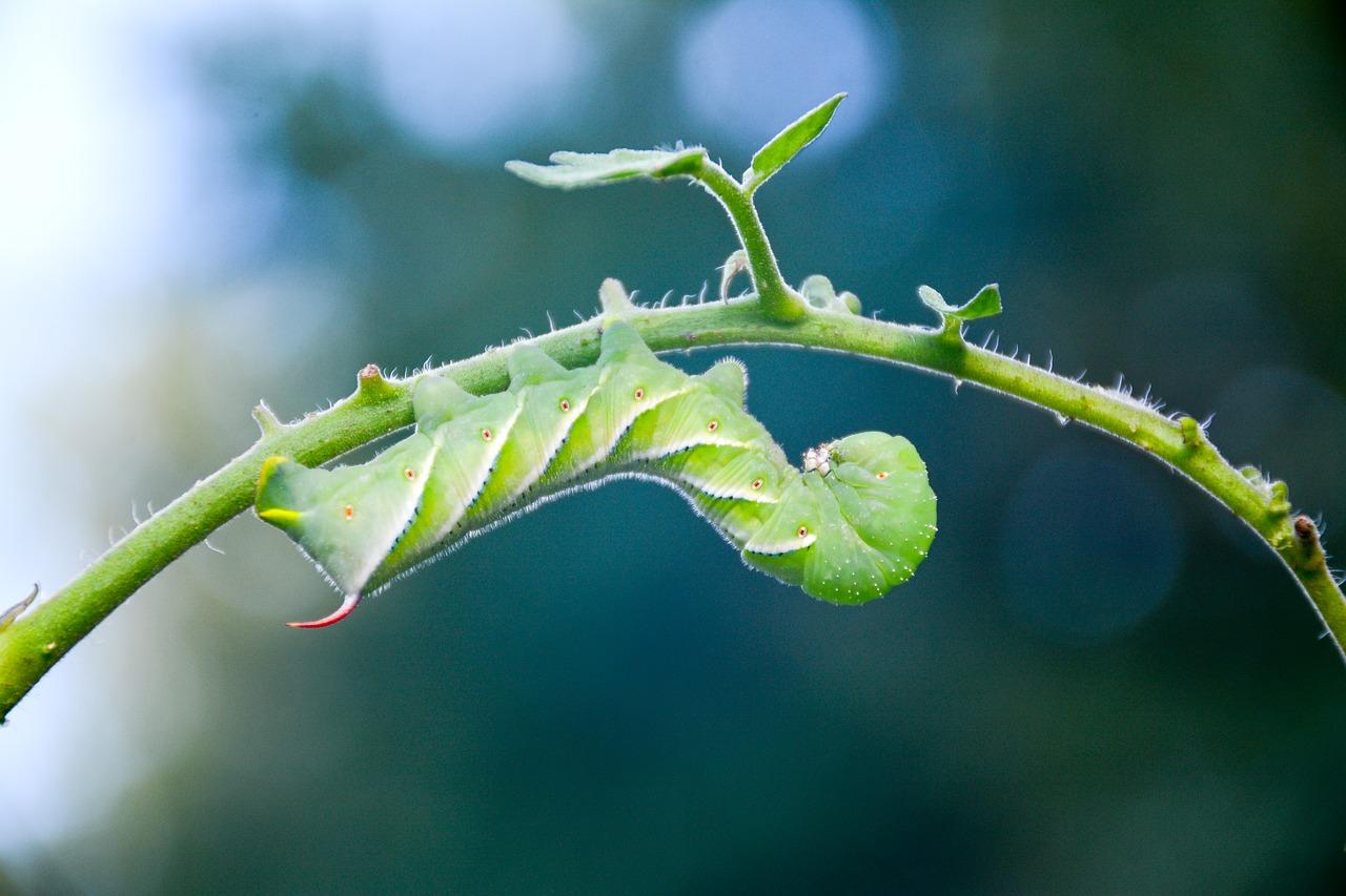 Hornworm caterpillar Herbeins Garden Center