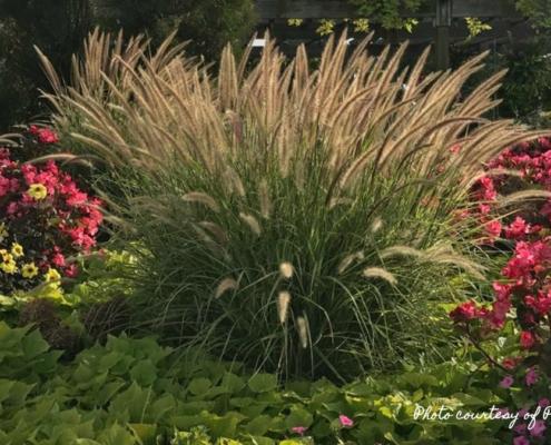 Ornamental grass Fall Herbeins Garden Center