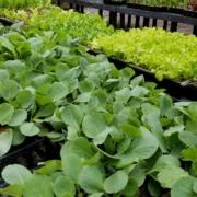 Fall Weather Crops Herbeins Garden Center