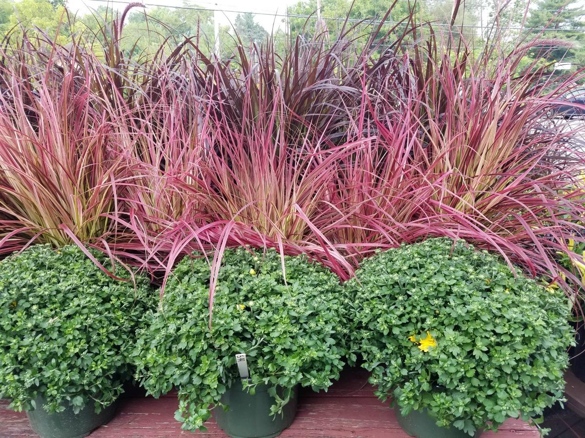 Fall Grasses and Mums Herbeins Garden Center