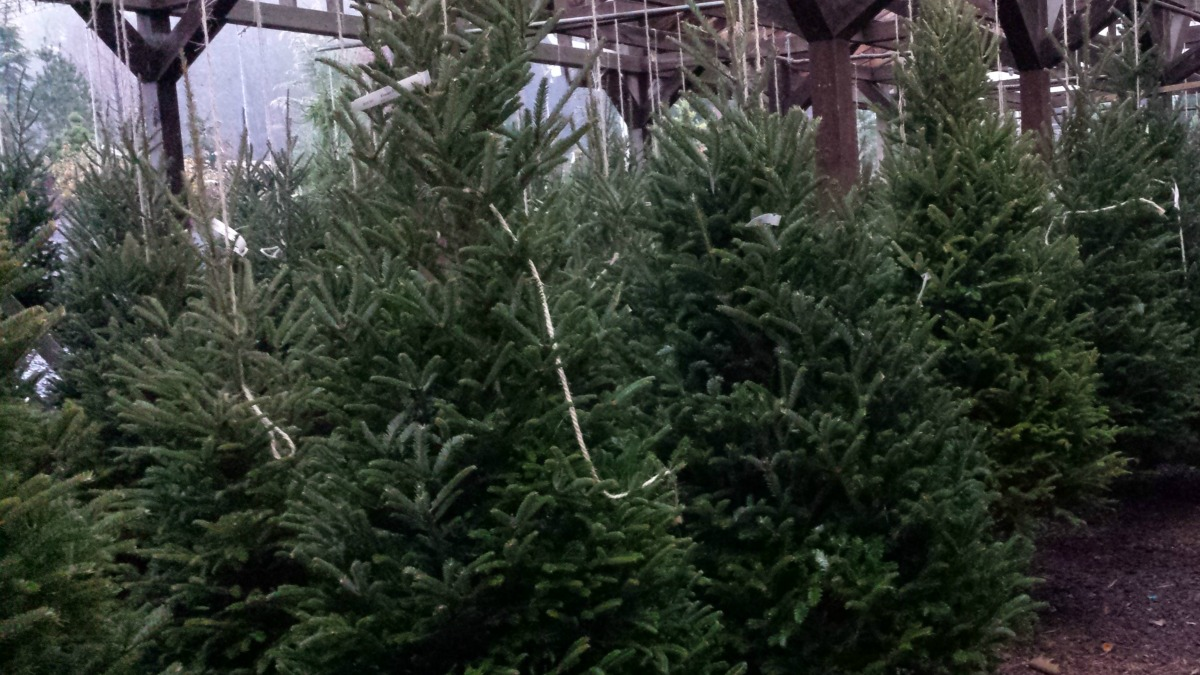 Herbeins Garden Center Christmas Trees Fresh Cut