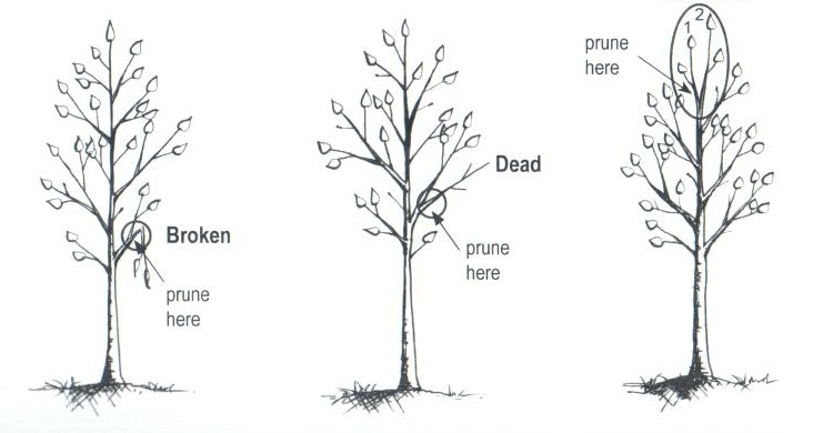 Herbeins Garden Center Tree Guide Pruning
