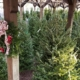 Herbein's Garden Center Christmas Trees 2018