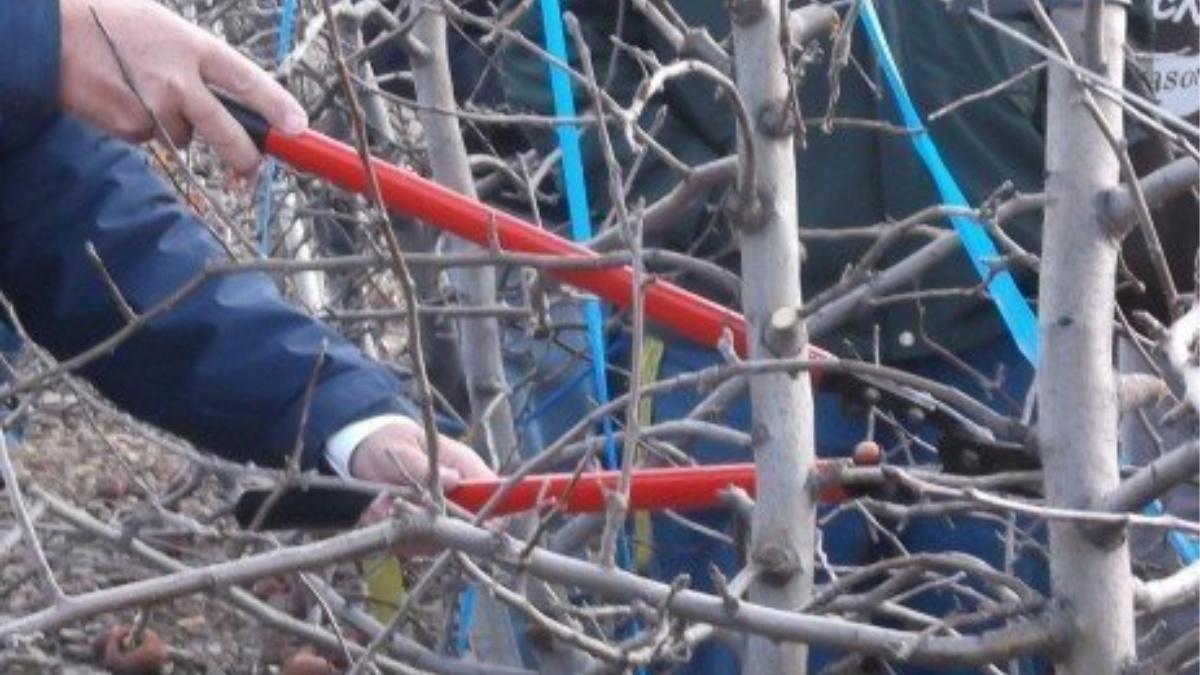 Pruning Fruit Tree PSExtension Herbeins Garden Center Emmaus Lehigh Valley