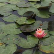 pond lotus Herbeins Garden Center Emmaus Lehigh Valley