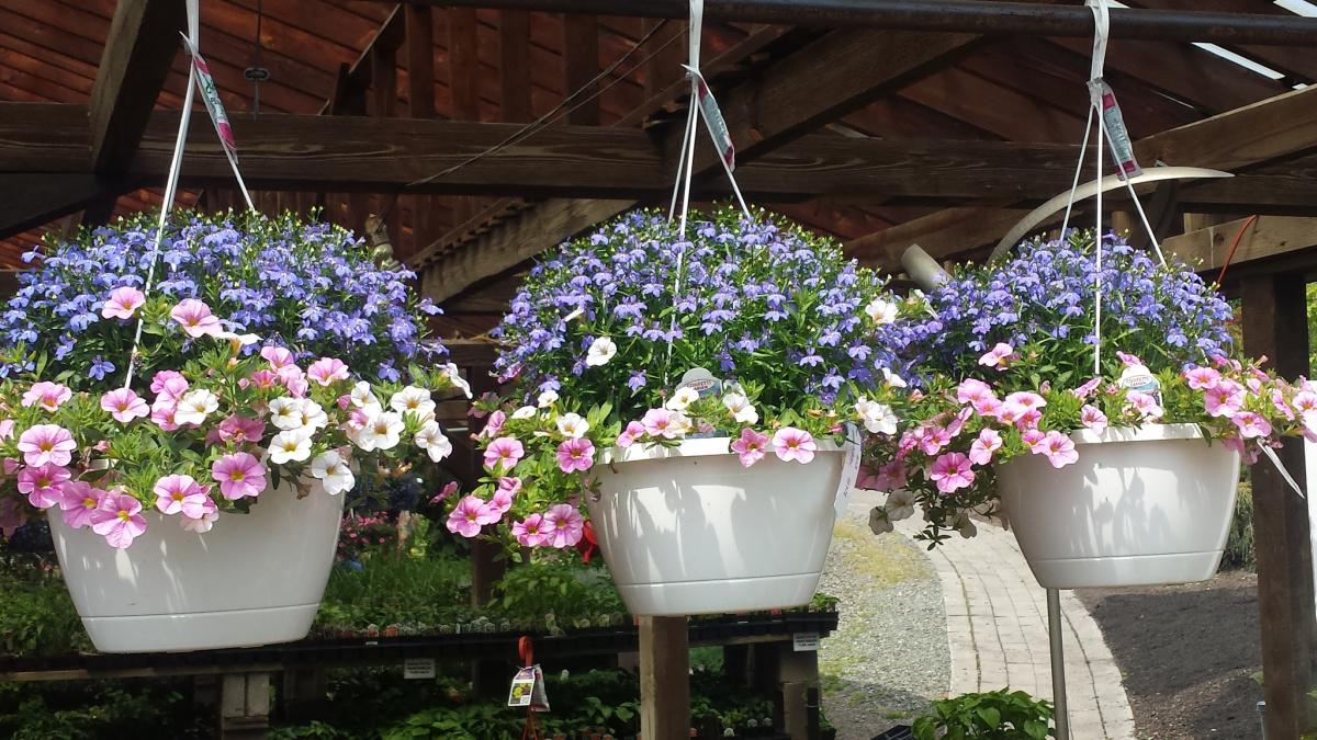 Hanging Baskets Herbeins Garden Center Emmaus Lehigh Valley