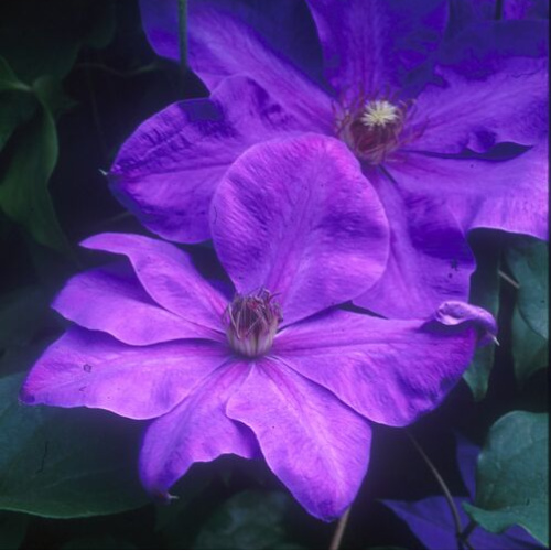Elsa Spath Clematis Herbeins Garden Center