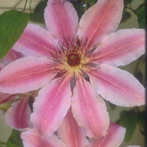 Nelly Moser Clematis Herbeins Garden Center