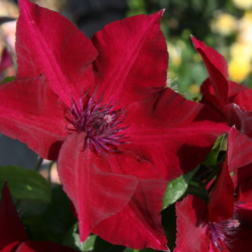 Nubia Clematis Herbeins Garden Center