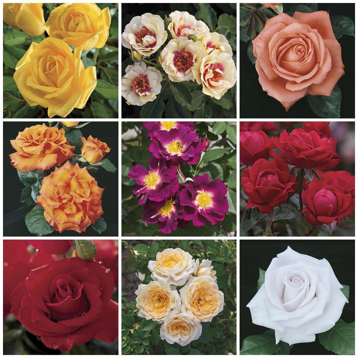 Roses Shrubs Bushes Herbeins Garden Center