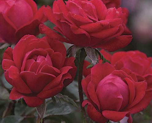 Rose Double Knock Out Herbeins Garden Center